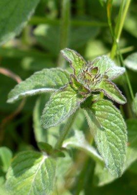 Herbal tea mint