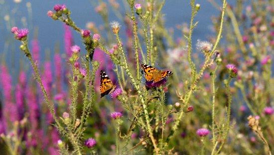 Butterflies plants