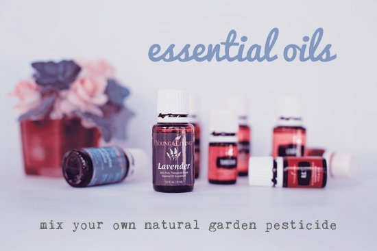 Mix your own essential oils garden pesticide
