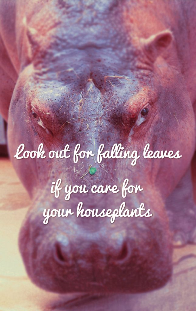 Care for your houseplants hippo