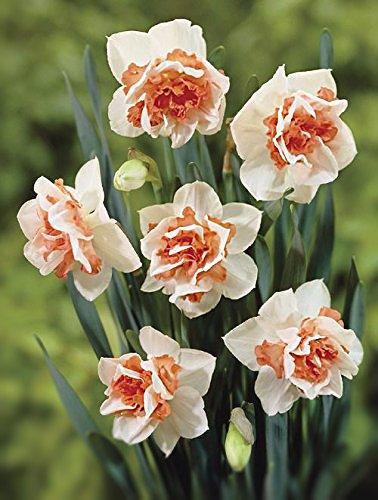Daffodil-replete