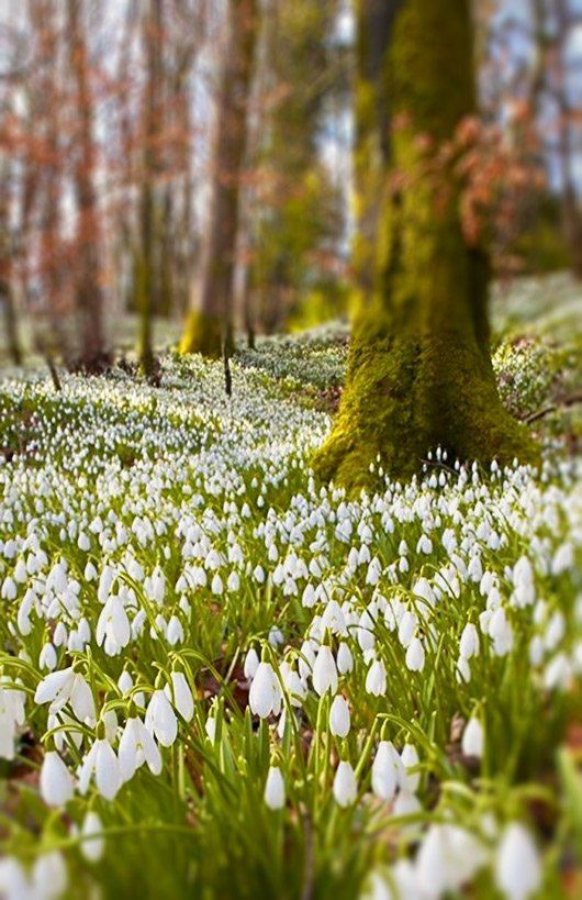 Snowdrops-woodland-spring flowering bulbs