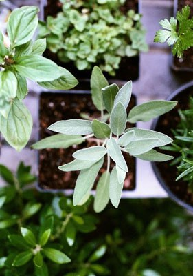 Herbal tea sage