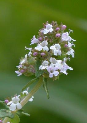 Herbal tea Thymus-vulgaris