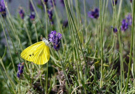 Butterfly yellow lavender