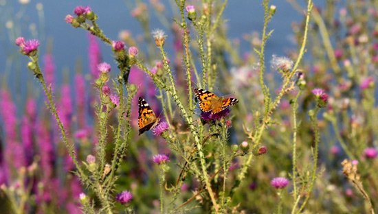 Butterflies plants