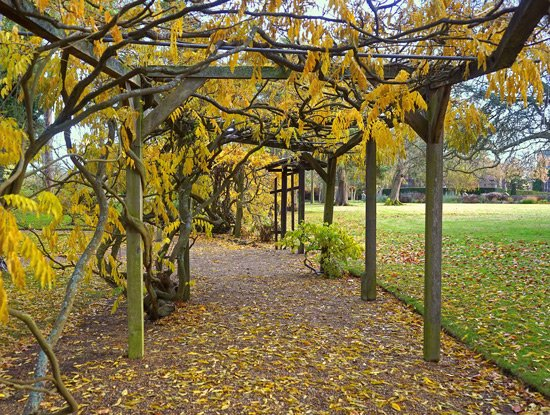 Pergola wisteria