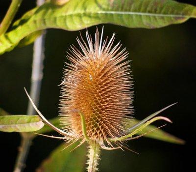 teasel seedhead