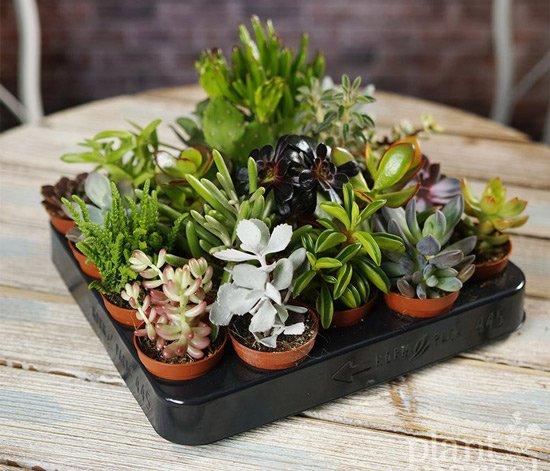 Terrarium-succulent-plants