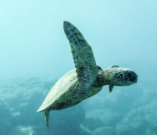 Eco-friendly-cleaning-sea-turtle
